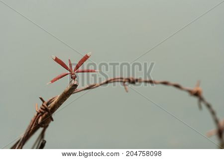 Red dragonfly on barbed wire - stock image