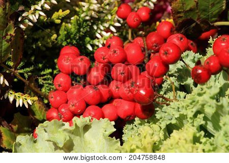 Picturesque small decoration in farm in Poland. Heathers with rowanberry. Autumn crops. Macro photography.