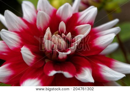Red And White Dahlia (dahlia X Hortensis)