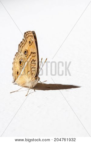 butterfly grasp on the white wall  - stock image