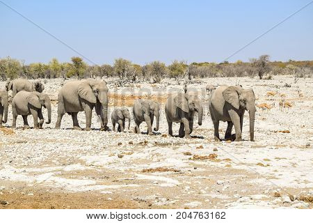 sunny arid savannah scenery including a group of african bush elephants walking in a row seen in Namibia