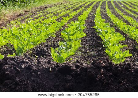 A large field with rows with young sprouts.