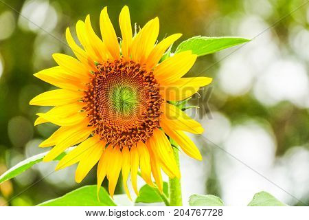 Beautiful large yellow sunflower turned to the sun.