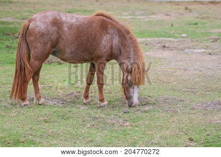 Dwarf Horse On Grass Field