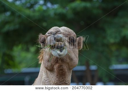 Camels Eat Hay On A Camel Farm
