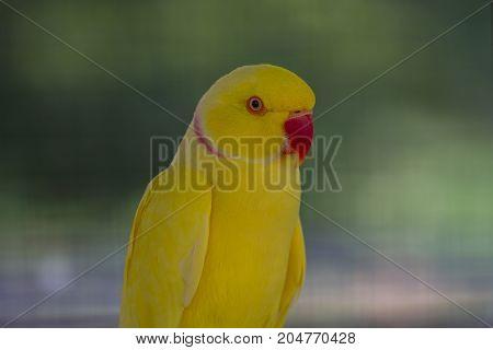 Close Up Yellow Parrot
