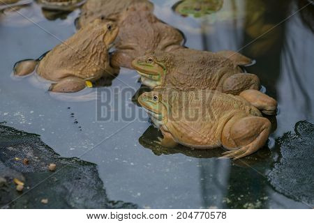 Frogs Are Found In A Pond In A Frog Farm