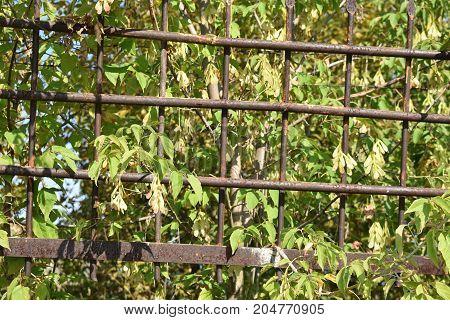 Beautiful trees behind rough steel bars in summer
