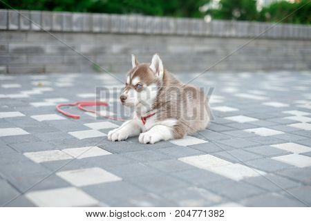 Little puppy husky dog on the street.
