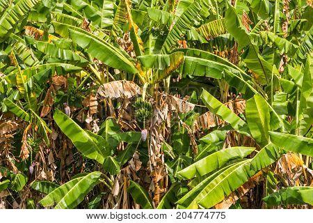 Green bananas on the tree Vinales Pinar del Rio Cuba. Close-up