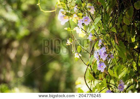 Beautiful purple flowers Vinales Pinar del Rio Cuba. Close-up. Blurred background