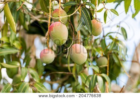 Fruits Of Mango On A Branch Of A Tree With A Blurred Background, Vinales, Pinar Del Rio, Cuba. Close