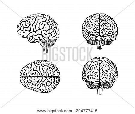 Vector outline illustration of human brain.set of human brain.