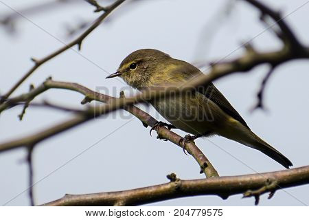 Common chiffchaff (Phylloscopus collybita) in the twigs a small bird from the family of leaf warbler close up