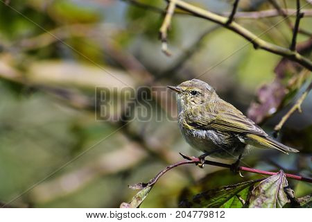 young common chiffchaff (Phylloscopus collybita) in the bushes a small bird from the family of leaf warbler close up portrait