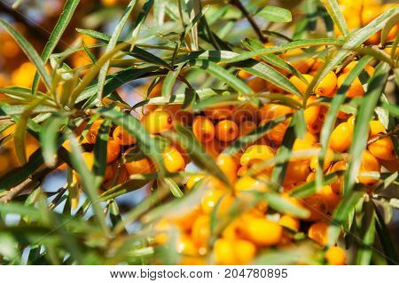 Orange berries of a sea-buckthorn on a branch with leaves