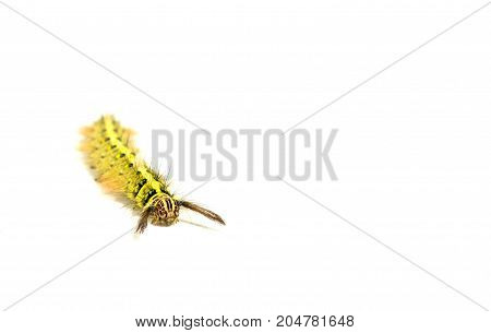 A Yellow Caterpillar On White Background. Soft Focus