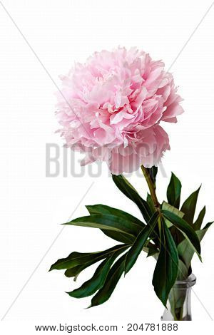 Pink Peonies Flowers Isolated.