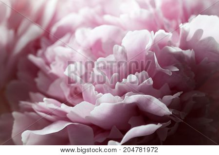 Macro Background Of Peony Flower.