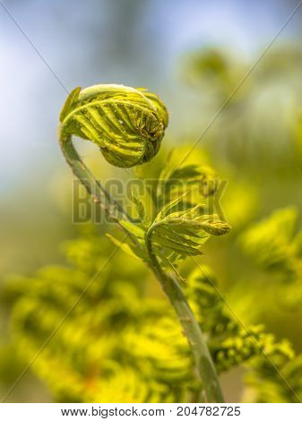 Unfurling New Fern Leaf