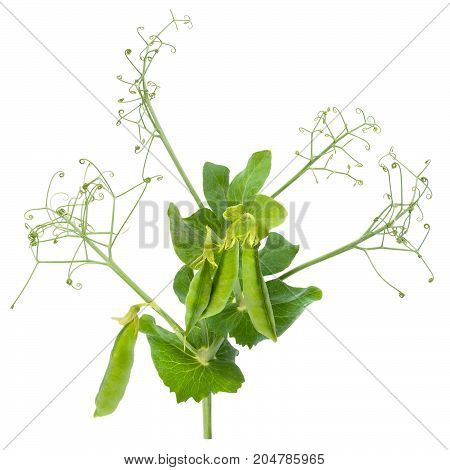 Sprig of fresh peas with green leaves and pods isolated on white background. Design element for product label, catalog print, web use.