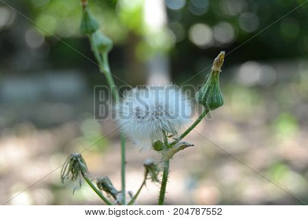 the dandelion flower with green background, dandelion