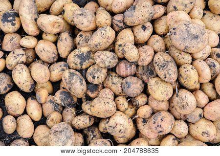 The Fresh organic potato. Close-up potatoes texture.