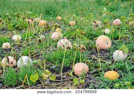 Pumpkin Harvesting On The Farm