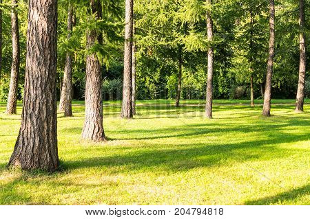 pine trees in the park at evening. background nature.