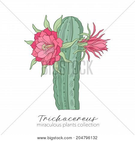 Echinopsis, trichocereus peruvianus plant. Colored stock line vector illustration.