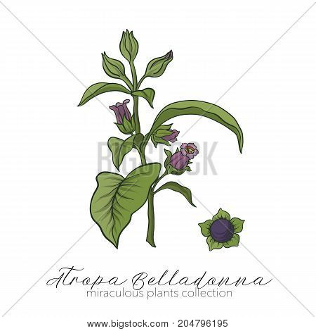 Belladonna plant set. Colored stock line vector illustration.