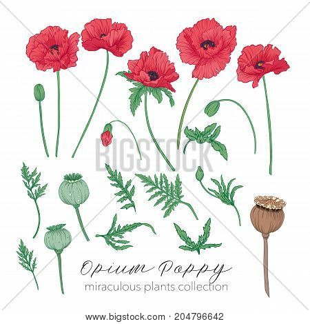 Opium poppy plant set. Colored stock line vector illustration.