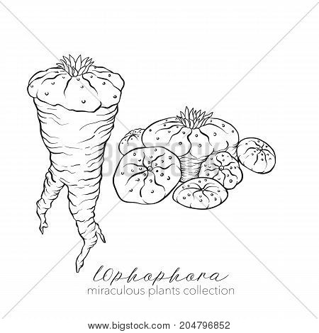 Ophophora plant. Outline stock line vector illustration.