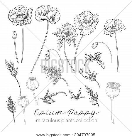 Opium poppy plant set. Outline stock line vector illustration.