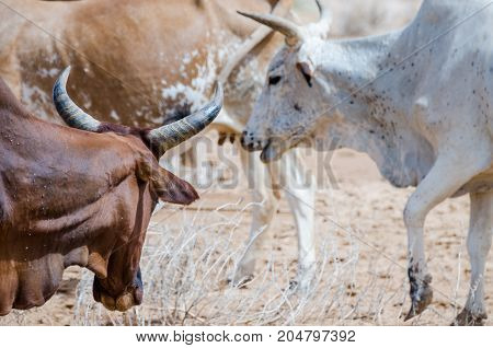 Closeup portrait of Mauritanian cattle with bulls and cows in the Sahara desert, Mauritania, North Africa.