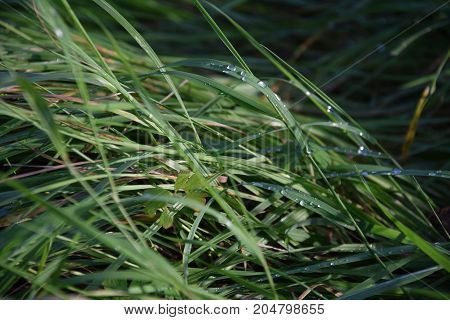 Long grass with the droplets after the rain