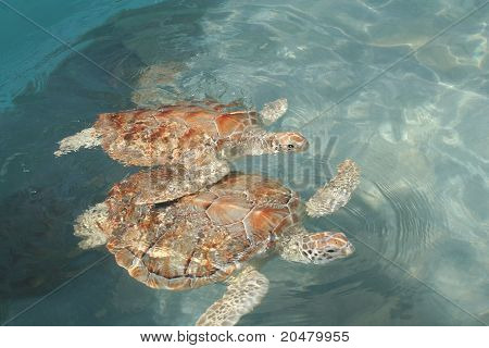 Sea Turtle Pair