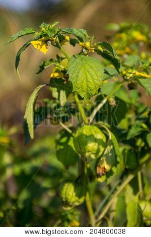 Tomatillo (physalis Philadelphica) Or Mexican Husk Tomato