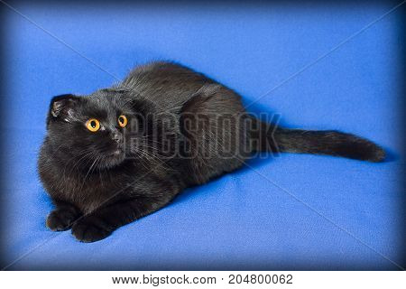Black Lop-eared Cat Lies On A Blue Background