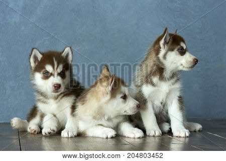 Three blue-eyed copper and light red husky puppies on wooden floor and gray-blue background
