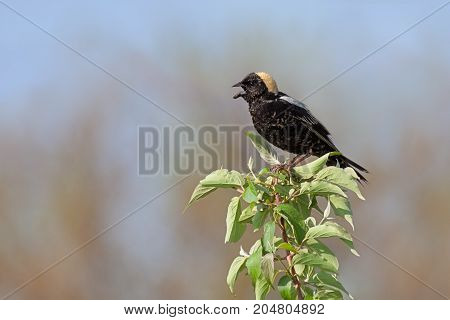 A bobolink sings its bubbling virtuosic song on a leafy tree top. With its beak wide open and a brilliant straw-colored patch on its head the bobolink stands out in the blue prairie sky.