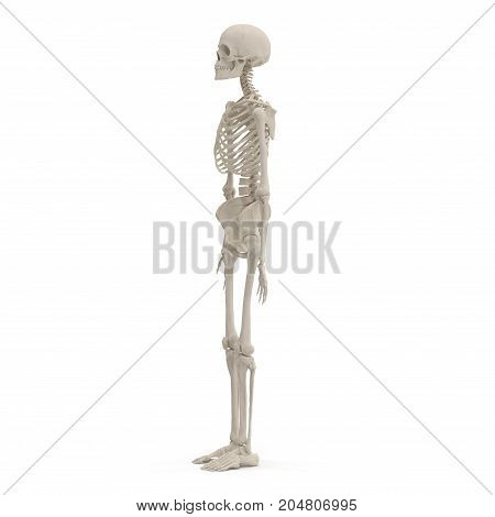 medical accurate female skeleton on white background. 3D illustration