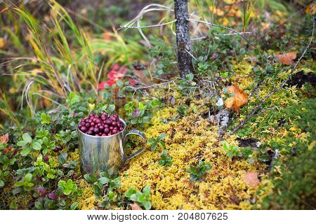 Cowberry in steel cup in a forest in autumn