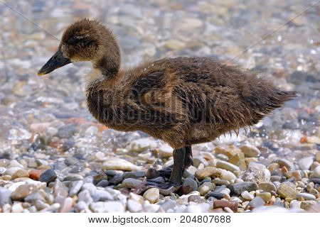 a swan chick dries on the beach
