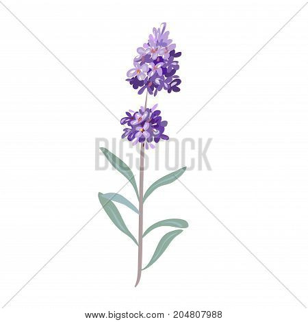 lavender flowers on a white background stock image vector