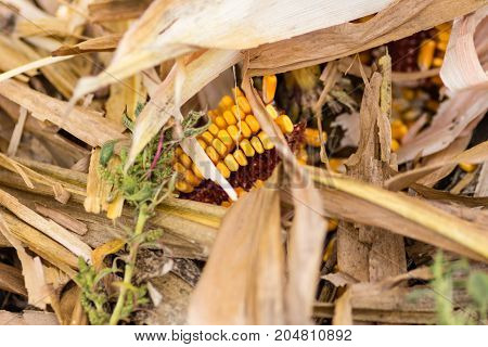 the debris on the ground of a harvested corn field