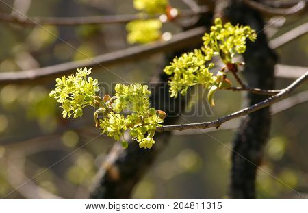 Beautiful Maple Tree Blossoms In Spring In Natural Habitat