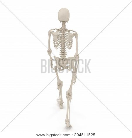 medical accurate female skeleton walking pose on white background. 3D illustration