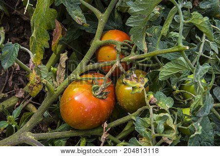 natural organic hobby garden tomatoes, tomato picking, wonderful tomatoes that have begun to mature,