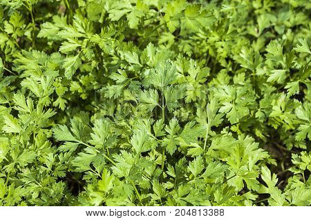 pictures of parsley in the natural organic hobby garden, pictures of parsley plant,